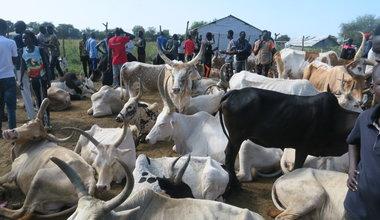 unmiss south sudan bor jonglei veterinary clinic cattle socioeconomic importance