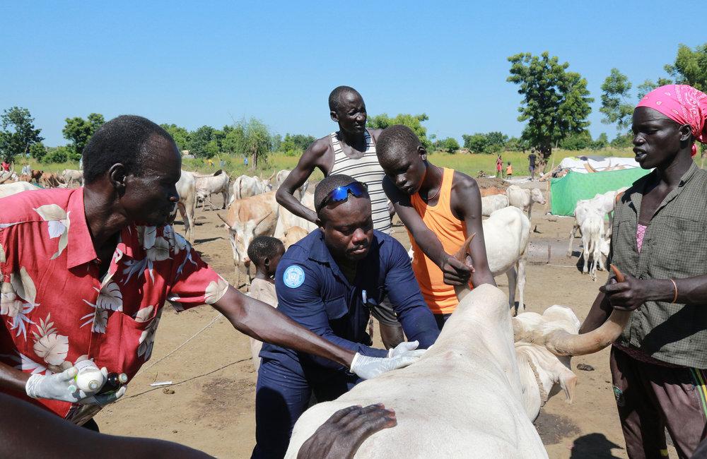 GhanBatt veterinarian delivers medical treatment to cattle in Bentiu