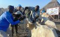 UN peacekeepers in Upper Nile treat cattle and educate owners