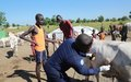 UNMISS Ghanaian veterinarians provide relief for Bentiu cattle farmers