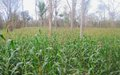 WFP contracts farmers in Yambio to supply 70 metric tons of maize